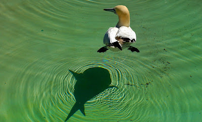 Trick photo - bird's shadow looks like a shark, but it's really just a duck!
