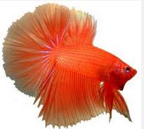 Jenis Ikan Cupang anggun