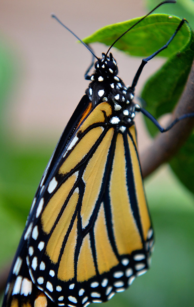 A Monarch butterfly has orange wings with heavy black lines like stained glass...all accented with black and white polka dots!