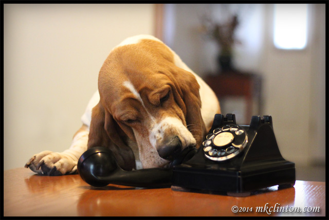 Bentley Basset with old fashioned rotary dial phone