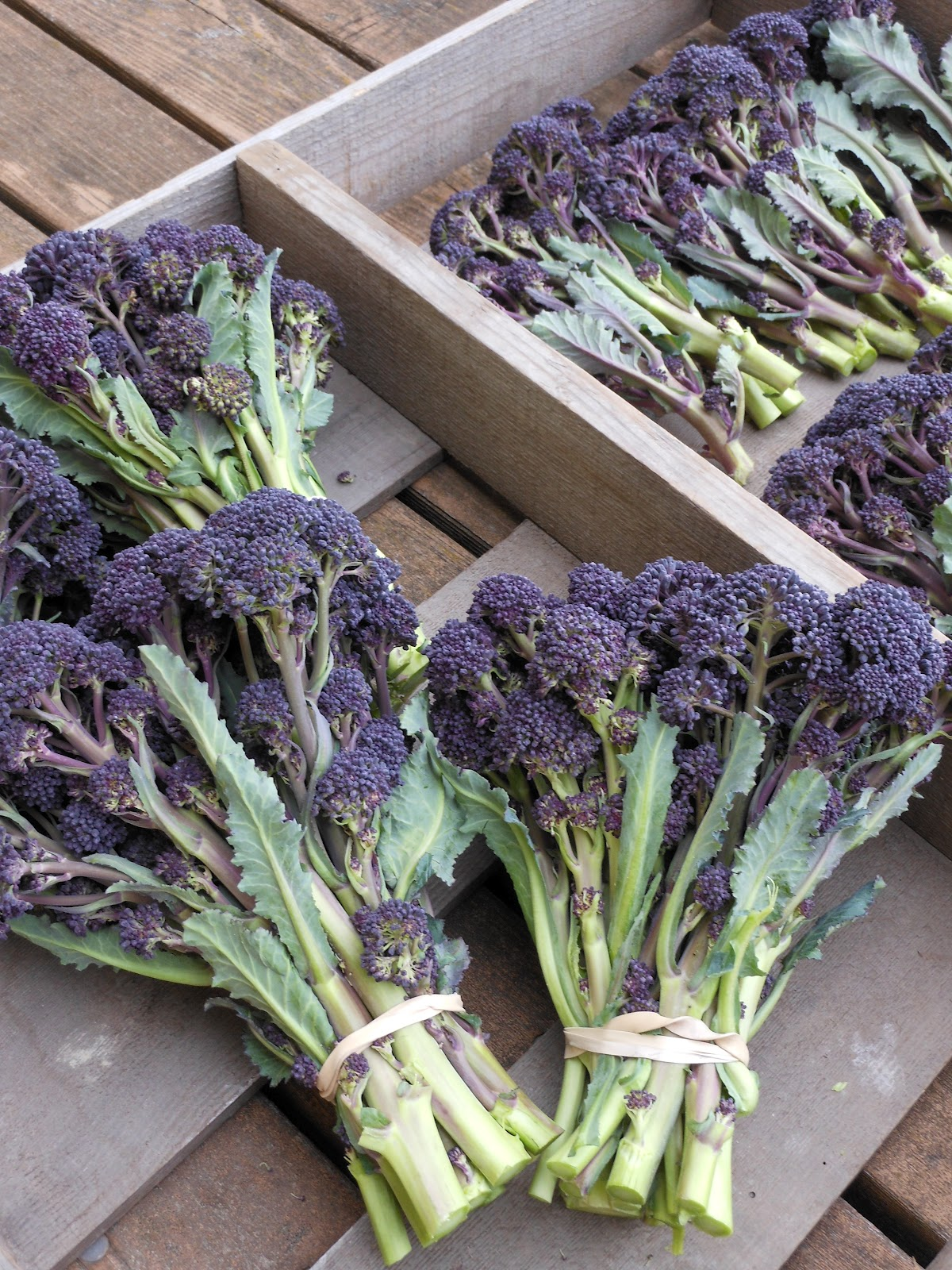 Overwinter Purple Sprouting Broccoli seeds available! | Osborne Seed Company Variety Trials