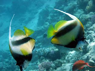 """اكتشاف تكيف الأسماك مع تغير مياه المحيط وخاصة أسماك """"دامسل الشوكية"""""""