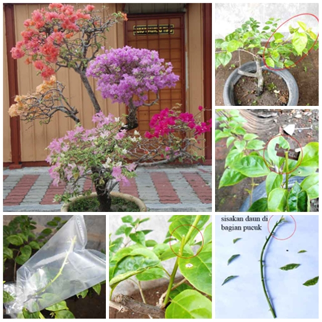Cara Mudah Membuat Cantuman Pokok Bunga Kertas Pelbagai Warna Dalam Satu Pokok