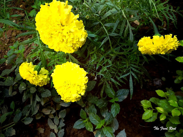 I planted lot of marigolds in my terrace garden.