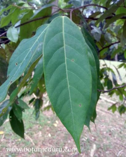 Maingaya malayana leaves