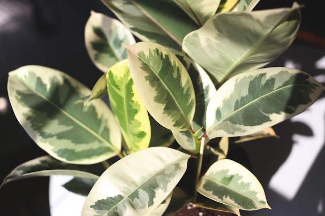 photo of variegated ficus tineke