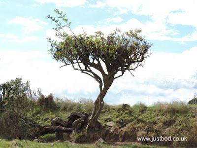 Small Hawthorn