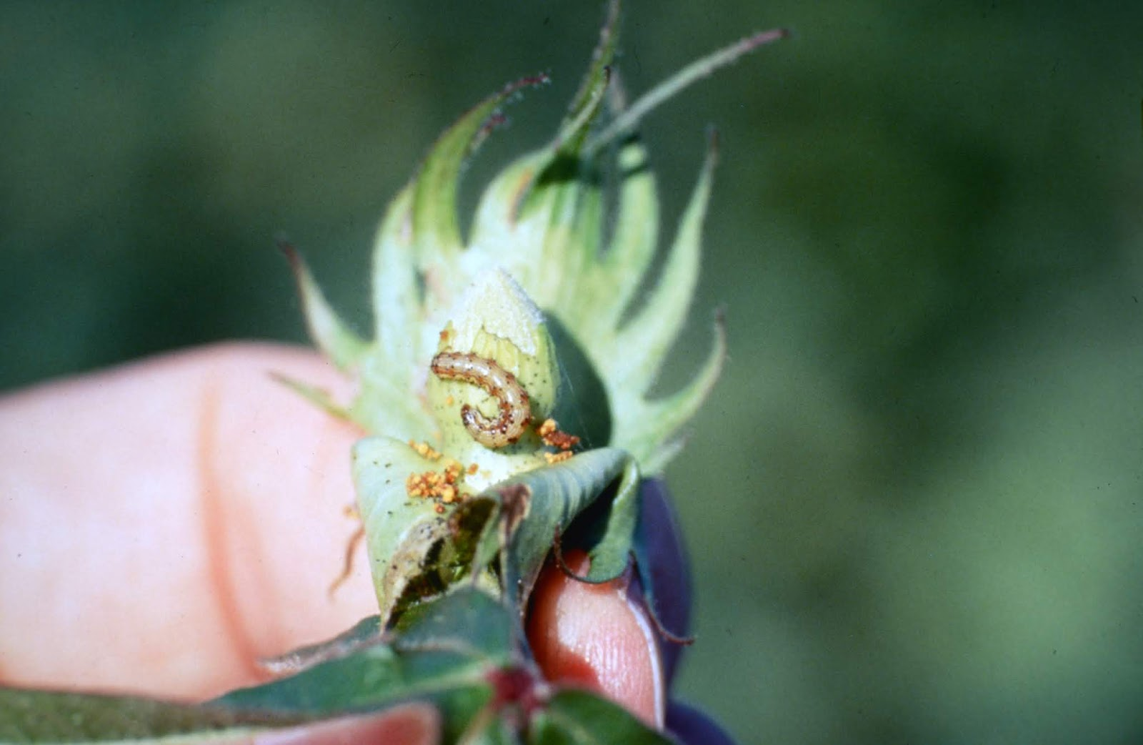 Old World Bollworm, Helicoverpa armigera, and Bollworms Hybridizing in Brazil