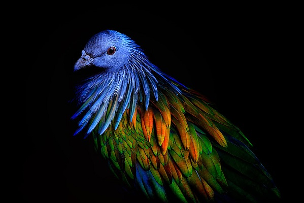 Pombo-de-Nicobar (Caloenas nicobarica) é um pombo encontrado em pequenas ilhas e nas regiões costeiras das Ilhas Nicobar