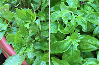 A composite photo showing tattered leaves of a basil plant eaten by a grasshopper.
