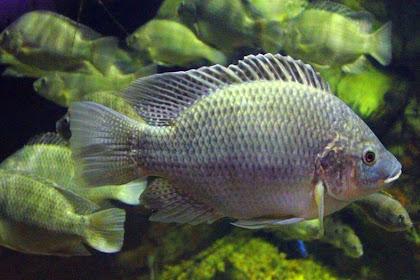 Sejarah Penemuan Ikan Mujair aka Ikan Nila - Ikan Laut yang Berubah Jadi Primadona Ikan Air Tawar