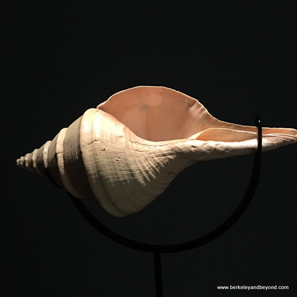 """syrinx aruanus shell"" by David Dasprzak in Jewish Folktales Retold show at Contemporary Jewish Museum in San Francisco"