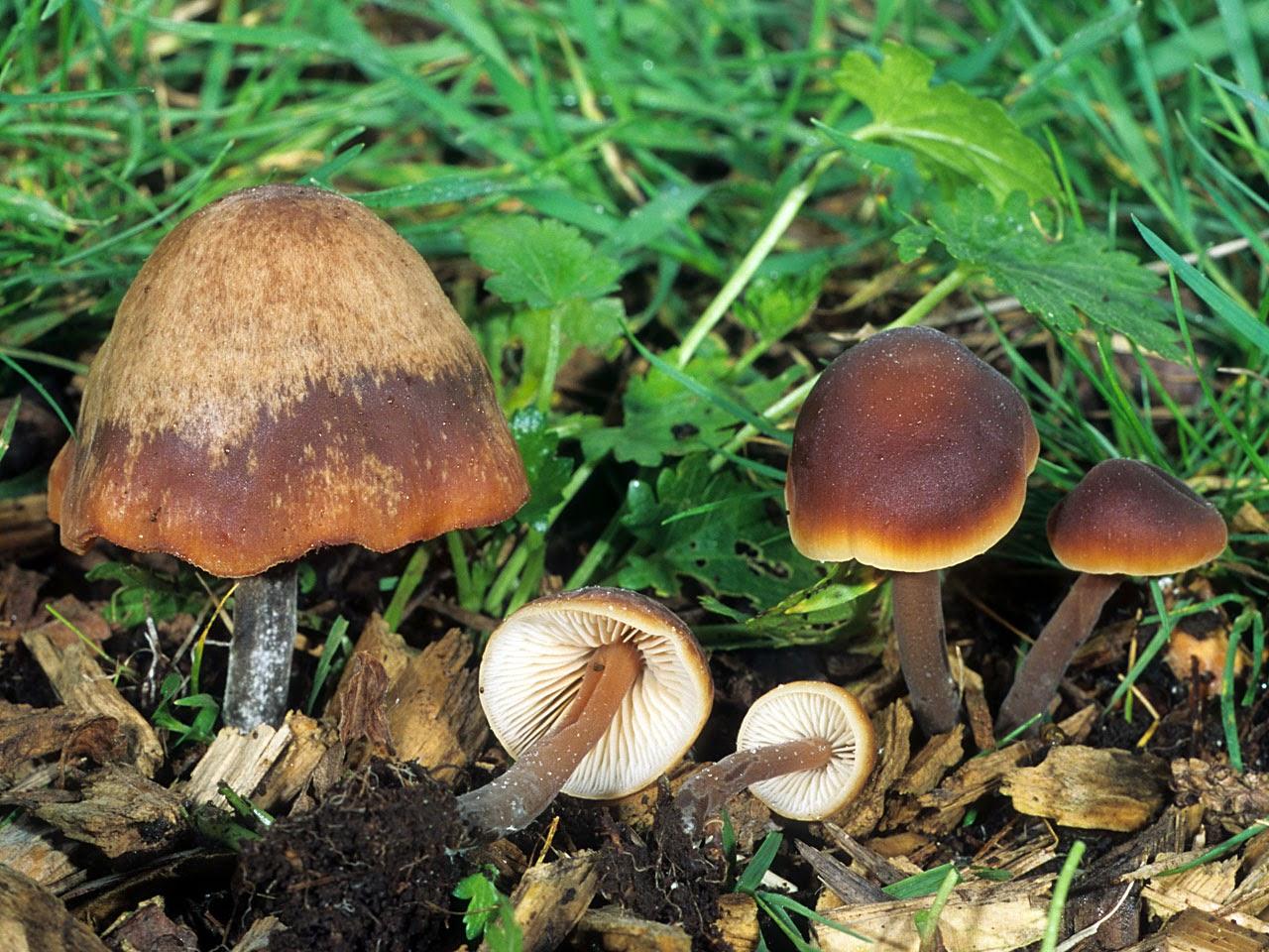 Macrocystidia_cucumis
