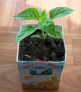 Некачественное семечко дало росток через 50 дней
