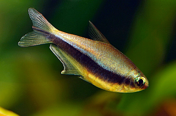 Ikan Hias X-Ray Pristella Tetra