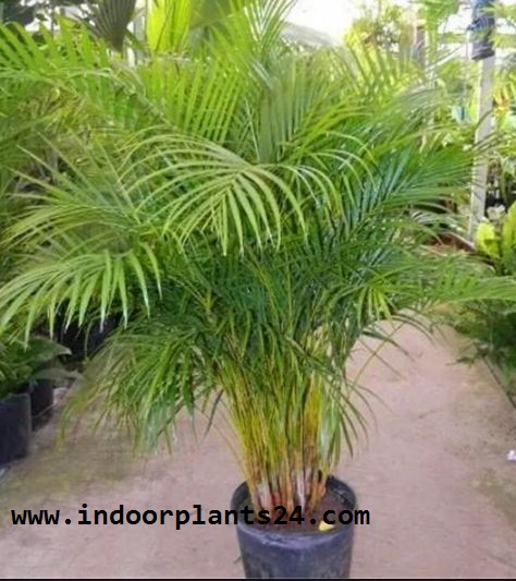 Chrysalidocarpus Lutescens Palmae BUTTERFLY PALM indoor Plant picture