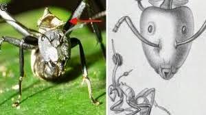 Hormiga en proceso de infección