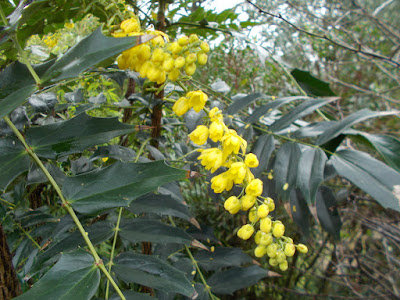 Mahonia Plants flowering in winter weird weather Green Fingered Blog