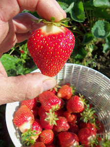 Big, Fresh, Delicious, Homegrown Strawberries