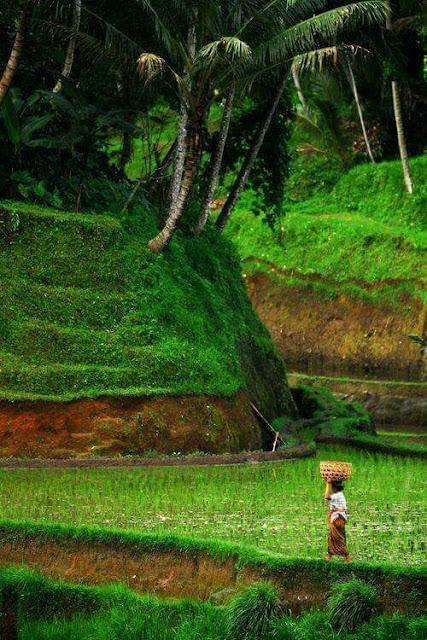 Pemandangan Sawah Hijau di Desa Sangat Indah