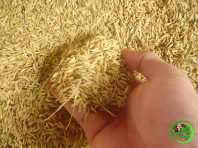 Petani : Harga Padi di Subang anjlok, Mana tema padi yang di usung pemerintah Kabupaten Subang itu