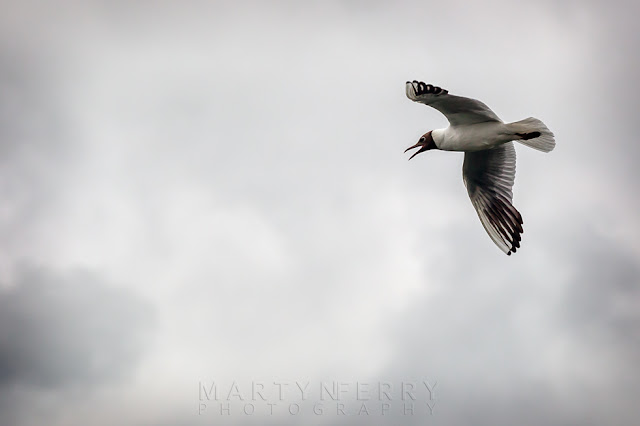 RSPB Ouse Fen nature reserve shot of a Black-headed gull