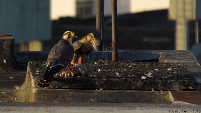 Aplomado Falcon Falco femoralis femoralis Falcão de Coleira Halcón Plomizo