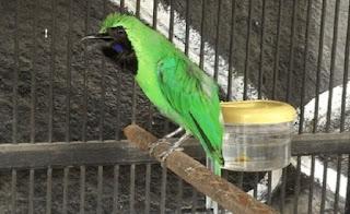 Cara Merawat Burung Cucak Hijau, Cucak ijo Cepat Gacor, Burung Kicau Terbaik