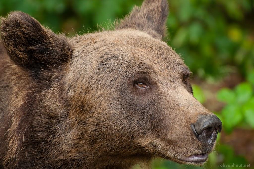 <b>Brown Bear</b> Anholter Bärenwald