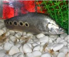 Jenis Ikan Belida Lokal