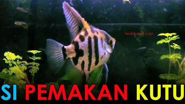 Amankah Ikan Manfish Sering Digabung dengan Ikan Mas Koki? Simak 2 Manfaatnya Berikut Ini!