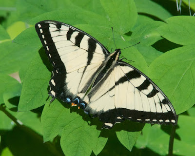 Eastern or Canadian Tiger Swallowtail (Papilio glaucus or canadensis)