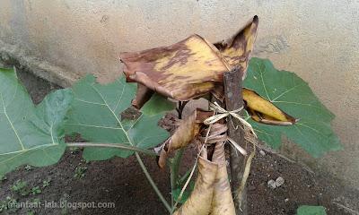 Cara menyambung pohon Cepokak dengan Terong