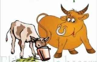 El buey y la becerra: Historia con moraleja