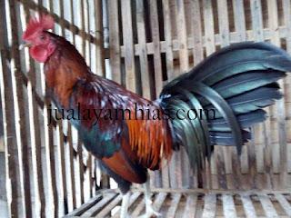 Ayam Onagadori Usia 6 Bulan