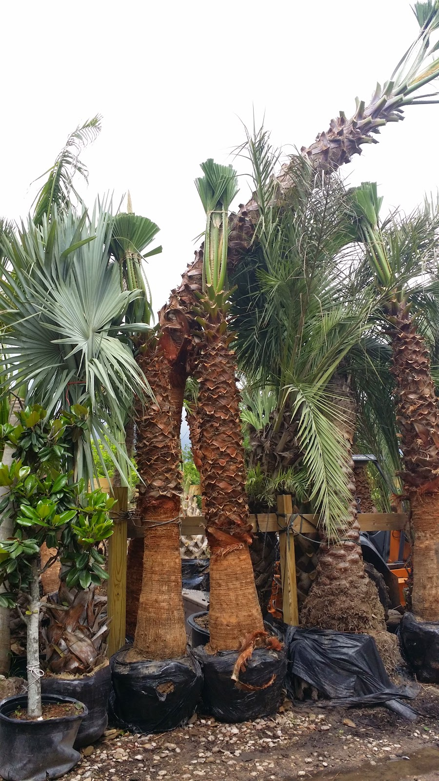 Cold Hardy Palm Trees In Houston Curved Palm Trees