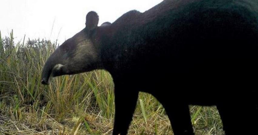 BCR: Conoce al tapir andino la nueva figura de la moneda de S/ 1 - www.bcrp.gob.pe