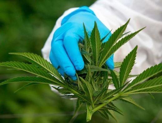 Lawmakers in Thailand approve medical use of marijuana