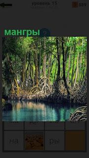 Мангры расположены рядом с водоемом, высокие деревья с крупными корнями