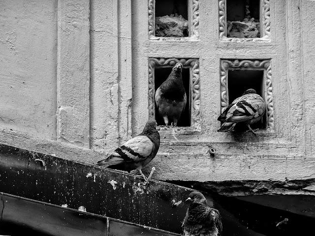 Palomas viviendo en hendidura de una pred