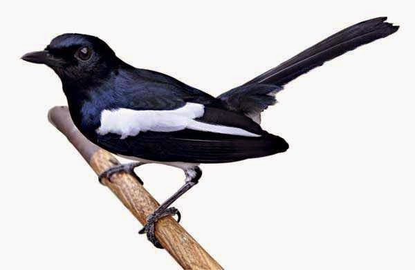 Kumpulan Foto Burung Kacer Jawa Terbaik Foto Burung Kicau