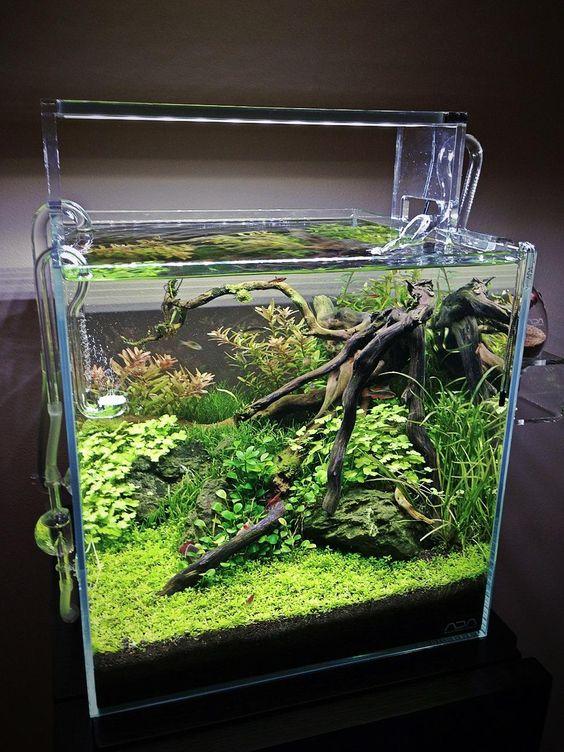 Bể thủy sinh cubic này có trân châu, rau má hương, vẩy ốc đỏ