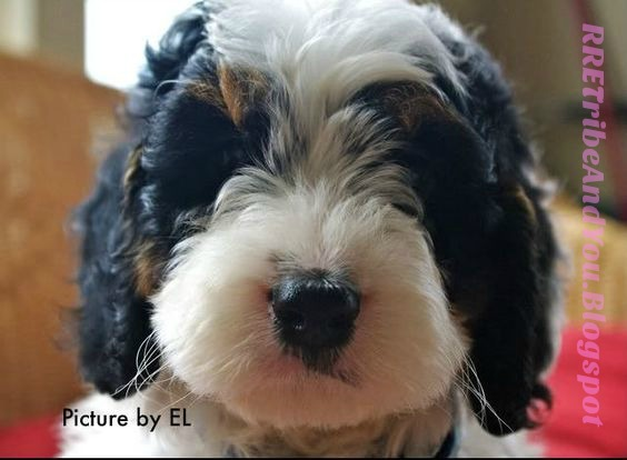 RRE Tribe & You: Paddington, the SpringerDoodle Dog