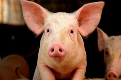 Kenapa Babi Diciptakan, Lalu Diharamkan