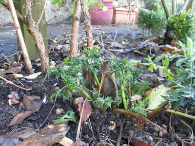 Fresh shoots on Acanthus spinosus Green Fingered Blog