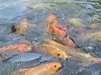 Tips Cara Budidaya Ikan Mas Di Kolam Terpal untuk Benih dan Pembesaran