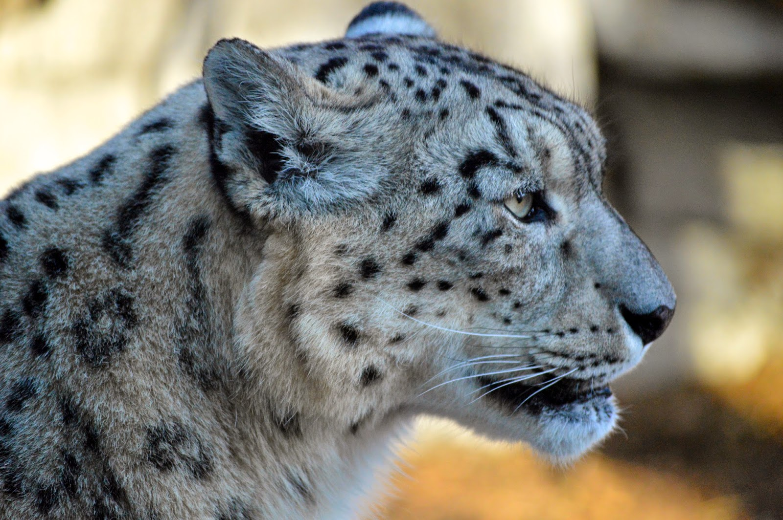 Nikon-D3200-Image-example-white-tiger