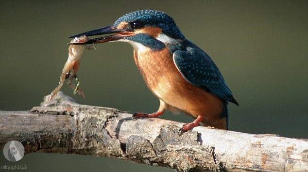 أعضاء التقاط الأغذية عند الحيوان