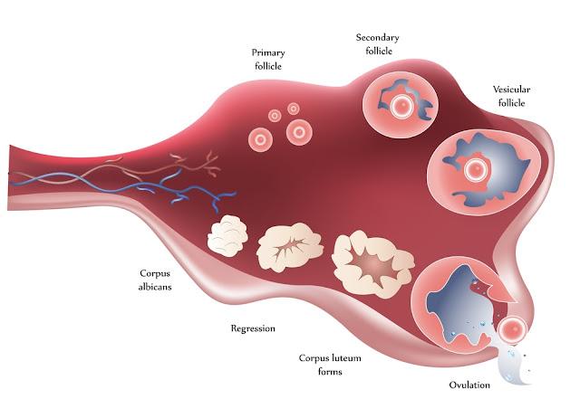 了解排卵痛的原因和排卵痛症狀