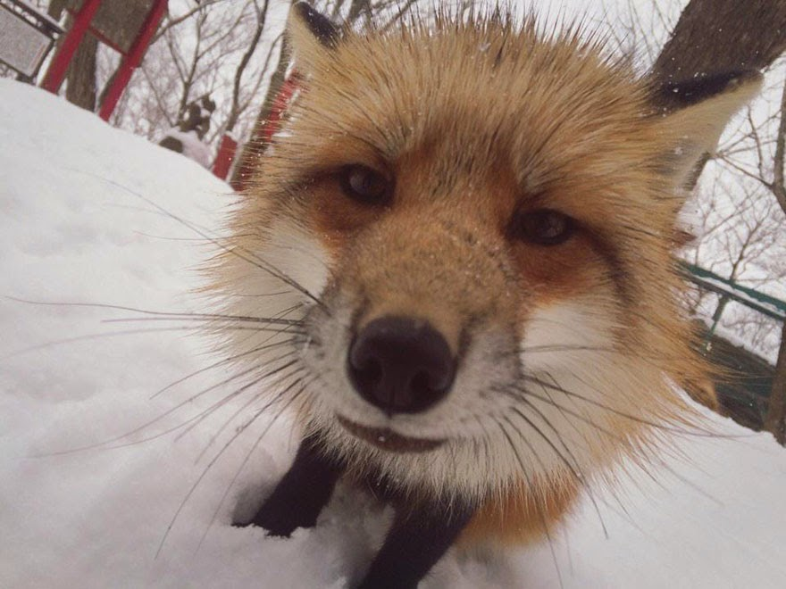 zao fox village japan adorable photos-10